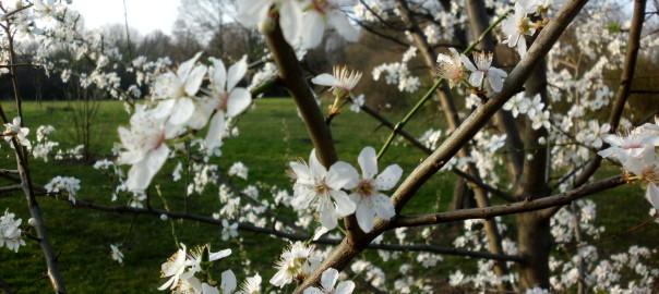 Kirschpflaume (blüht bald wieder)