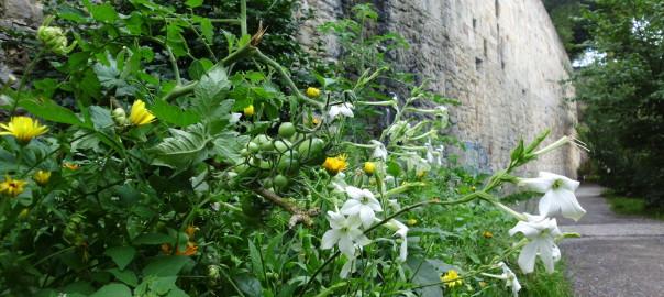 Guerrilla verde Beet Rondell, blühender tabak, Tomaten, Calendula