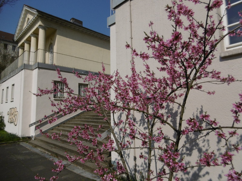 """Wow, der schon 2007 gepflanzte """"Guerilla""""-Pfirsich beim Soziokulturzentrum Werkstatt steht in voller Blüte"""
