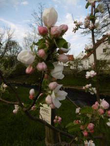 Gravensteiner(Apfel)Blüte