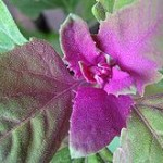 220px-MagentaSpreen_Chenopodium_giganteum_close-up_EdibleOffice