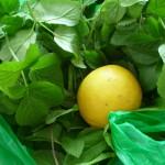 Giersch mit Zitrone