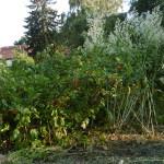 Beeren reif, Blütenflaum Pfeilkresse