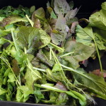 Salat-Spinat-Mischung frisch aus dem ForstFeldGarten