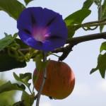 ...wächst in den Usbekischen Urapfel (Malus sieversii)